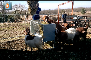 Using Feeders for Goats and Sheep by VKV