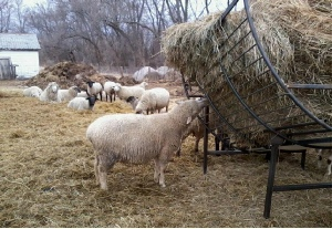 Round Bale Feeders for Sheep